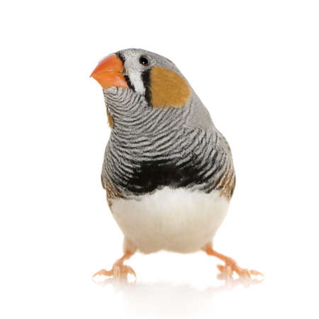 finch: Zebra Finch in front of a white background