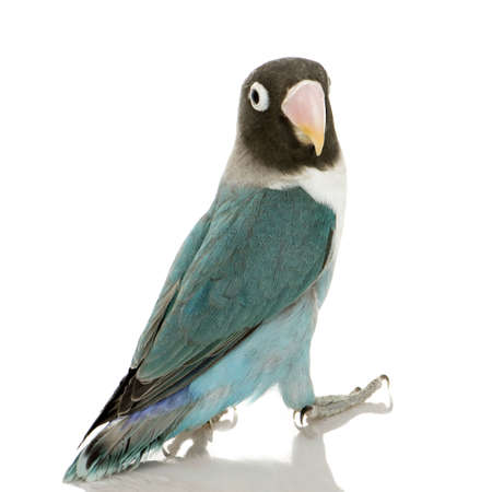 Blue Masked -Agapornis personata Lovebird in front of a white background photo