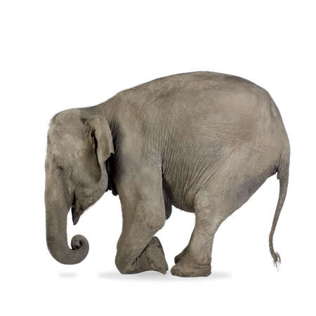 Asian Elephant - Elephas maximus (40 years) in front of a white background photo