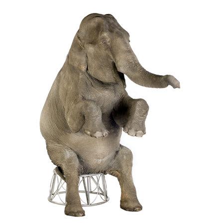 animaux cirque: Asian Elephant - Elephas maximus (40 ans) devant un fond blanc Banque d'images