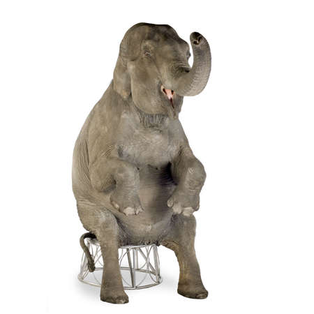 clumsiness: Asian Elephant - Elephas maximus (40 years) in front of a white background