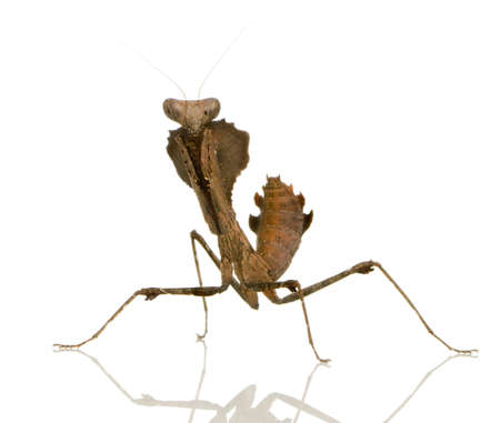 mantodea: Young praying mantis - Deroplatys desiccata in front of a white backgroung
