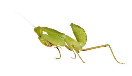 Young  praying mantis - Sphodromantis lineola in front of a white backgroung photo