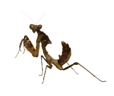 Young praying mantis - Deroplatys desiccata in front of a white backgroung photo