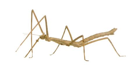 arthropoda: stick insect, Phasmatodea - Medauroidea extradentata in front of a white backgroung Stock Photo