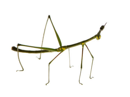 arthropoda: stick insect, Phasmatodea - Oreophoetes peruana in front of a white backgroung