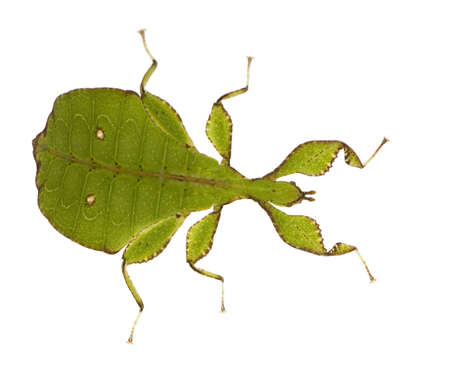 arthropoda: leaf insect, Phylliidae - Phyllium sp in front of a white backgroung