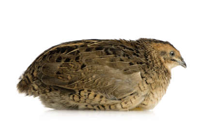 japanese quail: Japanese Quail - Coturnix japonica in front of a white background Stock Photo