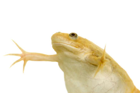 laevis: frog - Xenopus laevis  in front of a white background