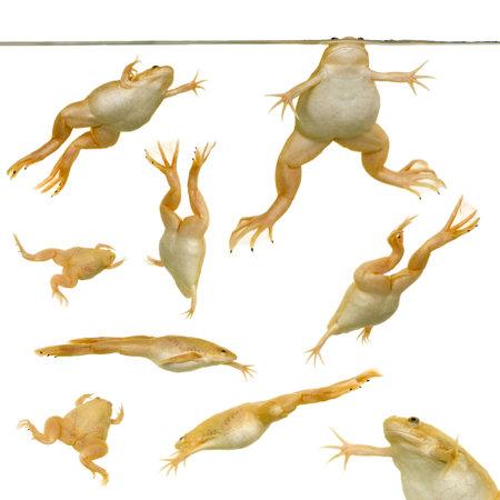 linea de flotaci�n: rana - Xenopus laevis delante de un fondo blanco