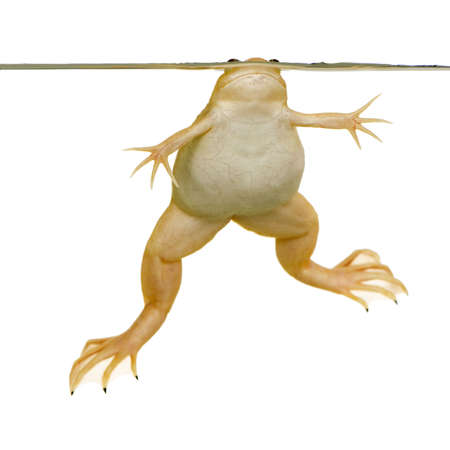 submersion: frog - Xenopus laevis  in front of a white background