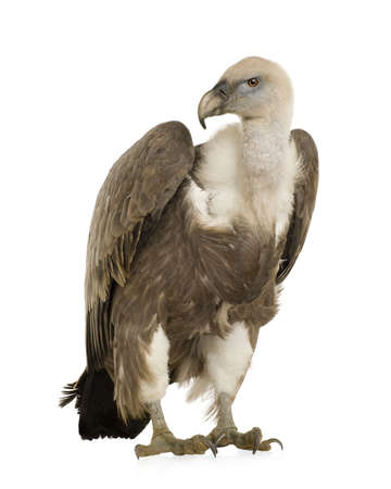 bird of prey: Griffon Vulture - Gyps fulvus in front of a white background Stock Photo