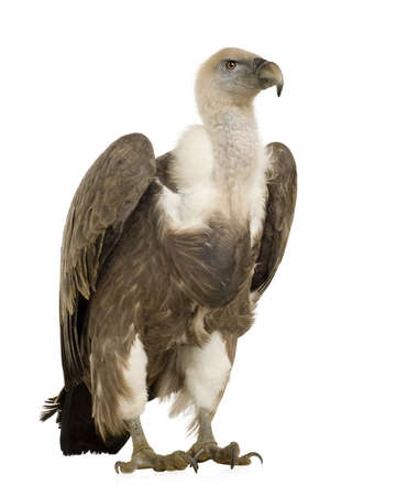 fulvus: Griffon Vulture - Gyps fulvus in front of a white background Stock Photo
