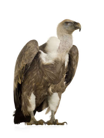 gyps: Griffon Vulture - Gyps fulvus in front of a white background Stock Photo