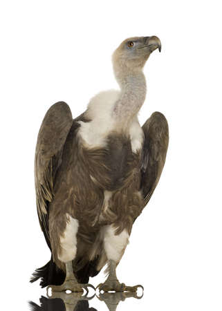 griffon: Griffon Vulture - Gyps fulvus in front of a white background Stock Photo