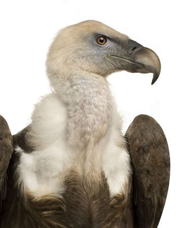 Griffon Vulture - Gyps fulvus in front of a white background Stock Photo