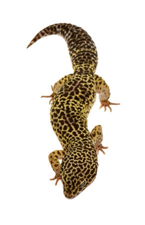 Leopard gecko in front of a white background photo