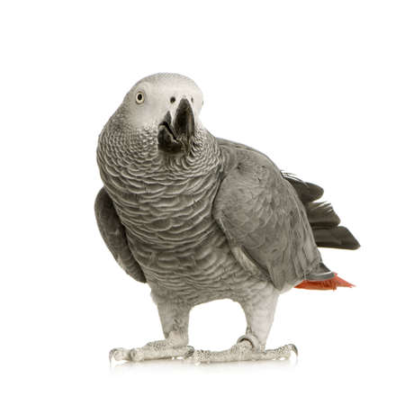 African Grey Parrot - Psittacus erithacus in front of a white background Stock Photo
