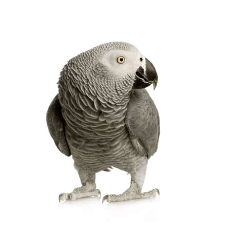 parrot: African Grey Parrot - Psittacus erithacus in front of a white background Stock Photo
