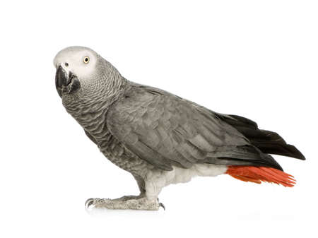 erithacus: African Grey Parrot - Psittacus erithacus in front of a white background Stock Photo