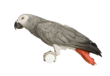 african grey parrot: African Grey Parrot - Psittacus erithacus in front of a white background Stock Photo