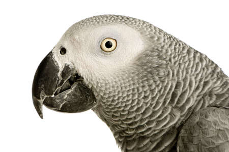 African Grey Parrot - Psittacus erithacus in front of a white background photo