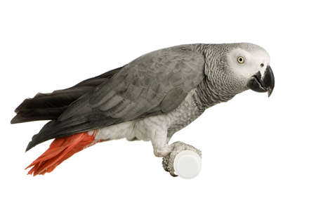 African Grey Parrot - Psittacus erithacus in front of a white background Stock Photo - 2408212