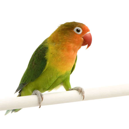 Peach-faced Lovebirdin  - Agapornis roseicollis or Lilians Lovebird - Agapornis lilianae front of a white background photo