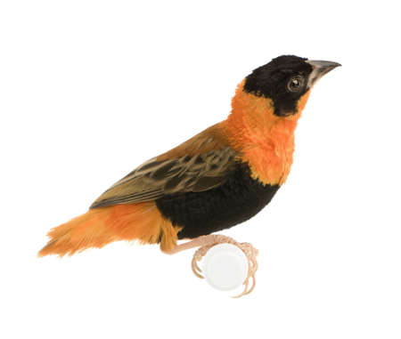 Northern Red Bishop - Euplectes franciscanus in front of a white background photo
