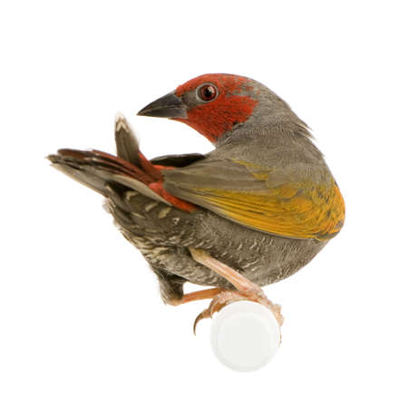 Red-headed Finch - Amadina erythrocephala in front of a white background photo