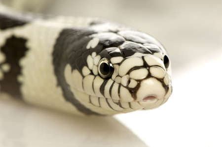California Kingsnake - Lampropeltis getulus californiae in front of a white background photo