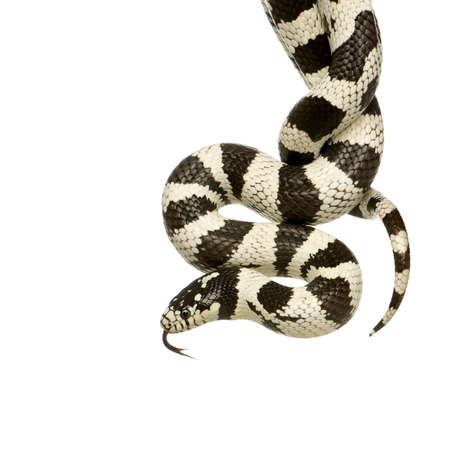 coldblooded: California Kingsnake - Lampropeltis getulus californiae in front of a white background