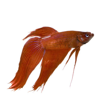 Male Siamese fighting fish in front of a white background photo