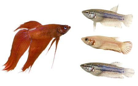 frailty: Siamese fighting fish in front of a white background