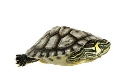 Turtle - trachemys in front of a white background Stock Photo - 2407987