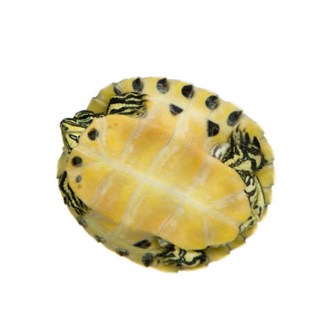 Turtle - trachemys in front of a white background Stock Photo - 2407984