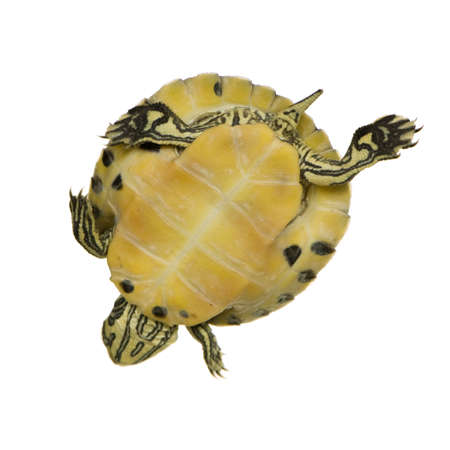 Turtle - trachemys in front of a white background Stock Photo - 2408005
