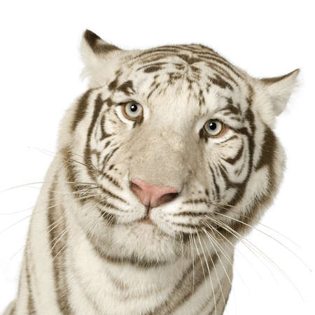 white tiger: White Tiger (3 years) in front of a white background Stock Photo