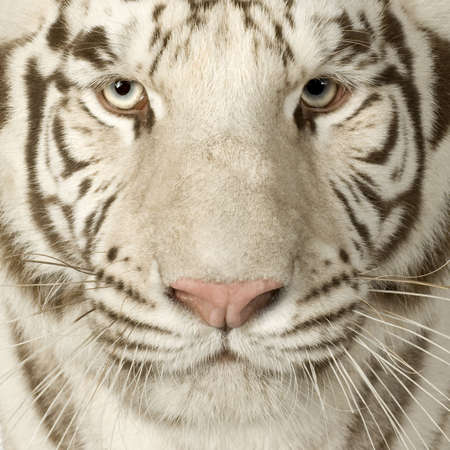 White Tiger (3 years) in front of a white background Stock Photo - 2498714