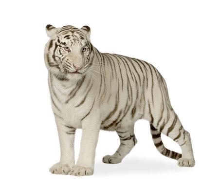 tigre blanc: Tigre Blanc (3 ans) devant un fond blanc
