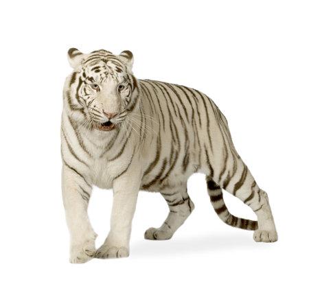 isolated tiger: Bianco Tiger (3 anni) di fronte a uno sfondo bianco  Archivio Fotografico