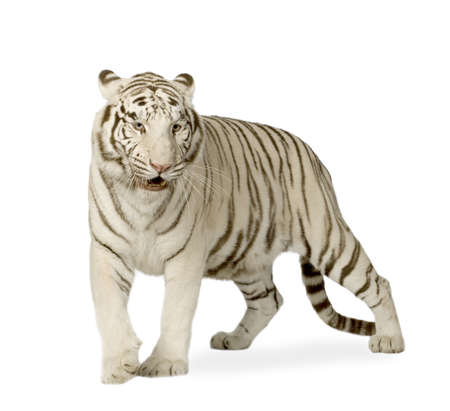furry animals: White Tiger (3 years) in front of a white background Stock Photo