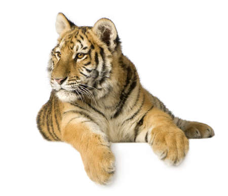 Tiger cub (5 months) in front of a white background photo