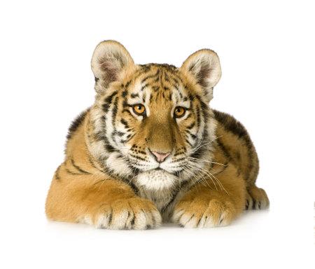 tigre cachorro: Cachorro de tigre (5 meses) delante de un fondo blanco