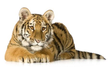 tigre cachorro: Tiger cub (5 meses) frente a un fondo blanco