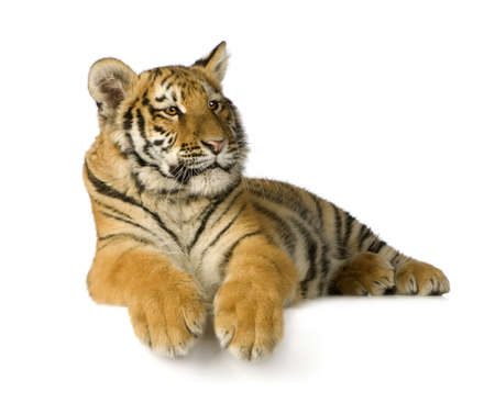 cachorro: Tigre cachorro (5 meses) delante de un fondo blanco
