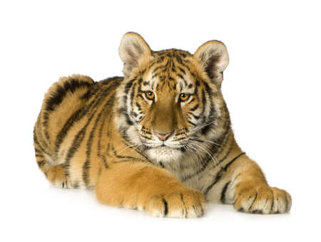 Бенгалия: Tiger cub (5 months) in front of a white background