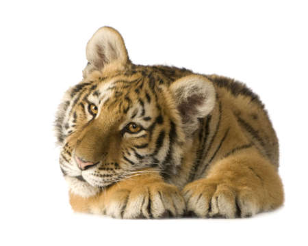 bothered: Tiger cub (5 months) in front of a white background