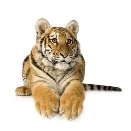 tiger cub: Tigre cub (5 mois) en face de fond blanc