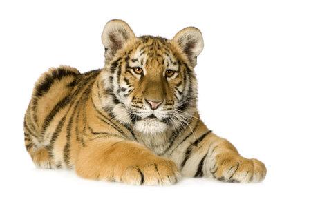 tiger cub: Tiger ourson (5 mois) devant un fond blanc Banque d'images